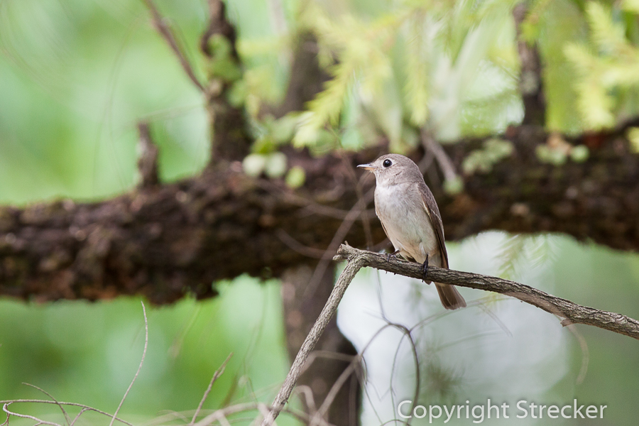 asian_brown_flycatcher