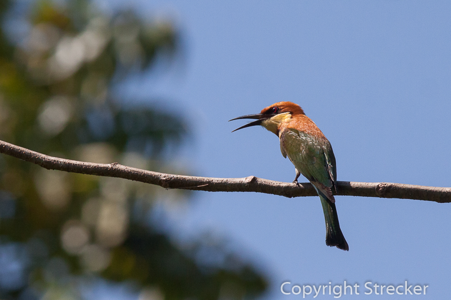 chestnut-headed_bee_eater