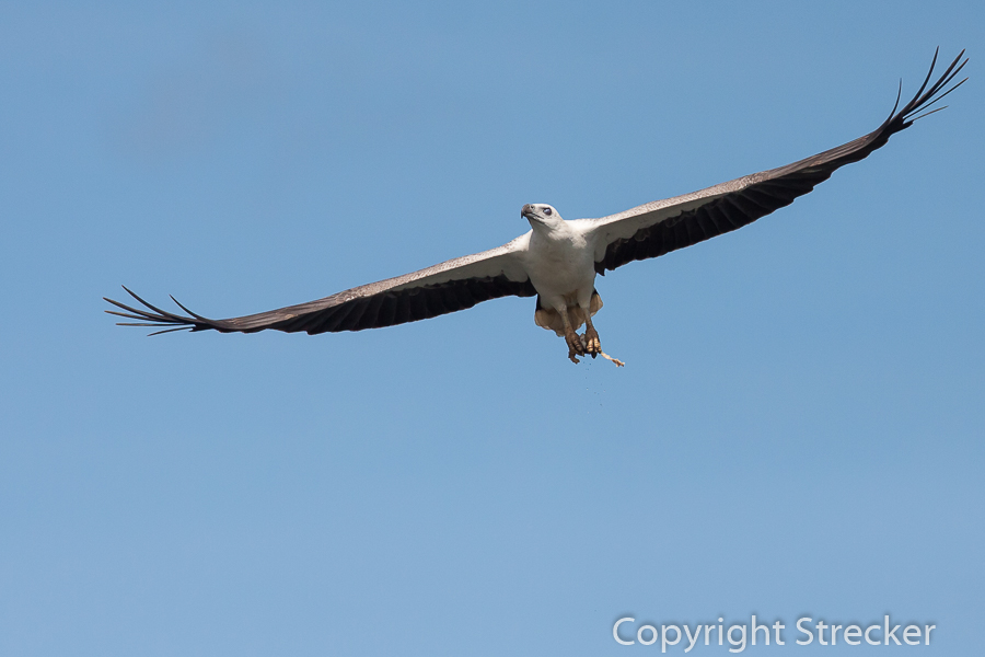 white-bellied_sea-eagle 2