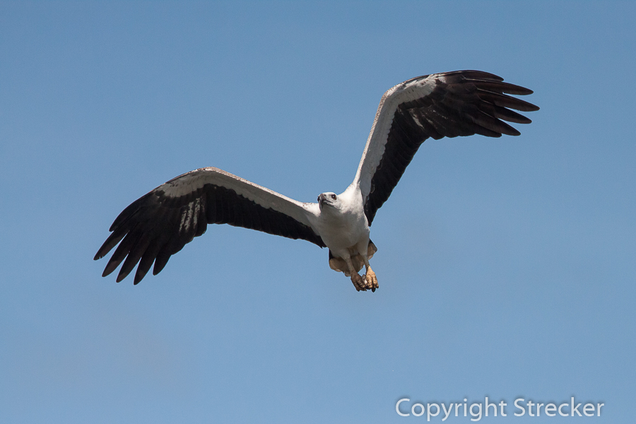 white-bellied_sea-eagle
