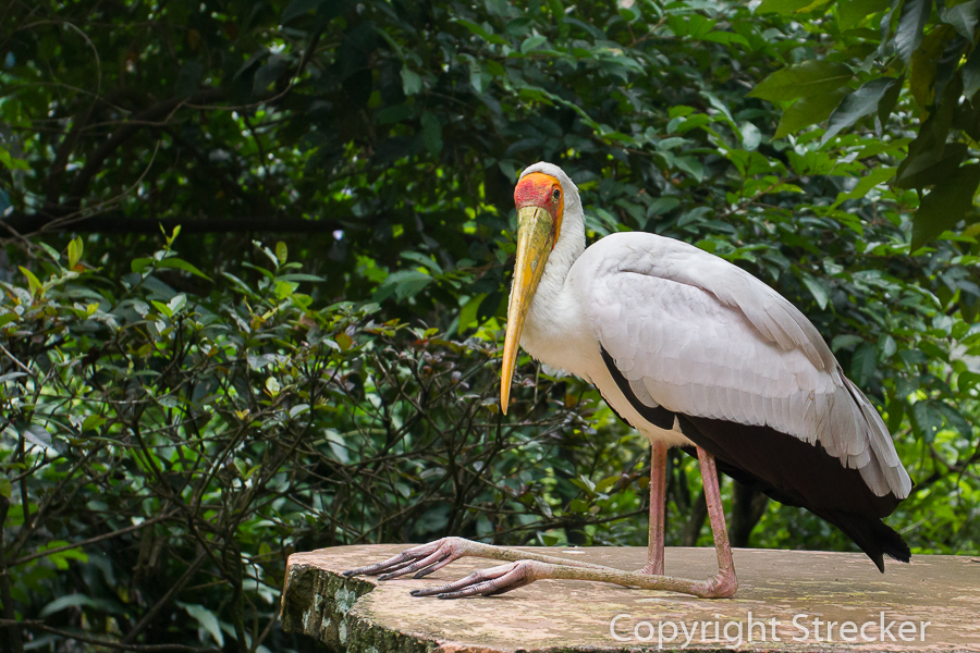 yellow-billed_storch
